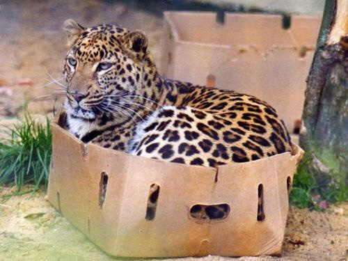 A leopard relaxes in a box