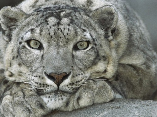 A closeup of a snow leopard