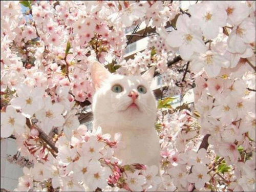Cat sitting in a cherry blossom tree