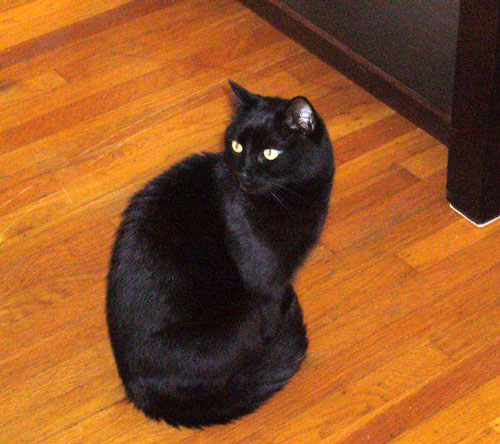 Celebrating Black Cats in October - Horatio from Vicky at CatFaeries.com