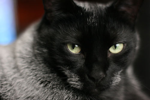 Celebrating Black Cats in October - Kaboodle from Amy at CatFaeries.com