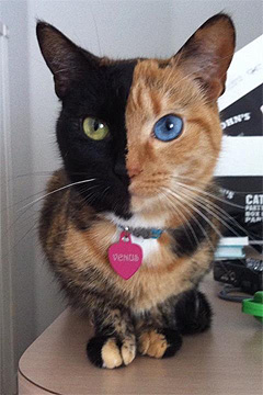 Venus the chimera cat