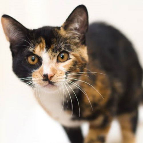 Why Male Calico And Tortie Cats Are So Rare